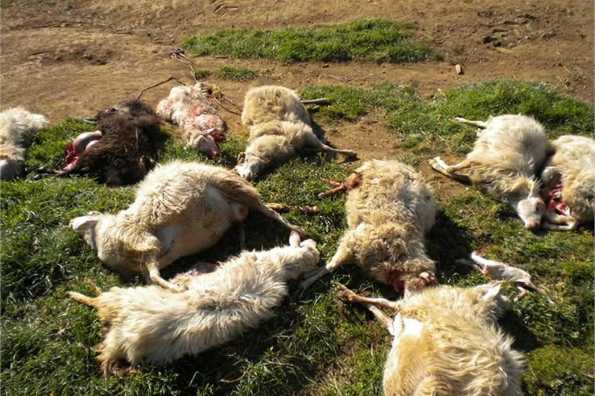pecore sbranate