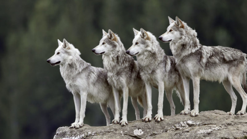 Four wolves on granite boulder, all looking in same direction